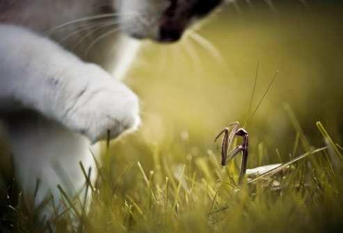 Getty rf photo of cat and praying mantis